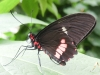 Butterfly-02-at-Mackinac-Butterfly-House.800-11