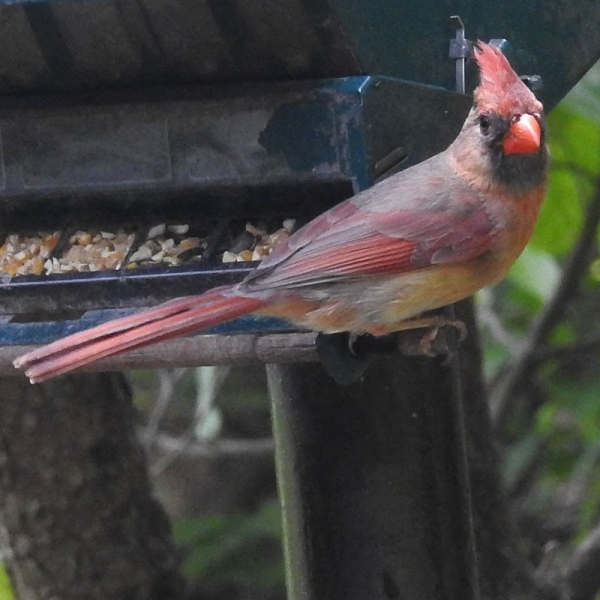Cardinal-youngster-maybe.800-348